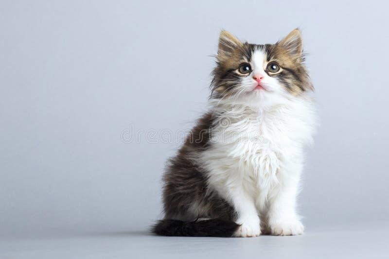 Portret van een klein pluizig katje die omhoog op een grijze studioachtergrond kijken royalty-vrije stock afbeeldingen