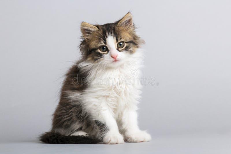 Portret van een klein pluizig katje die omhoog op een grijze studioachtergrond kijken royalty-vrije stock afbeelding