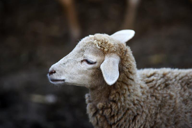 Portret van een klein schaap in de werf op een landbouwbedrijf stock afbeeldingen