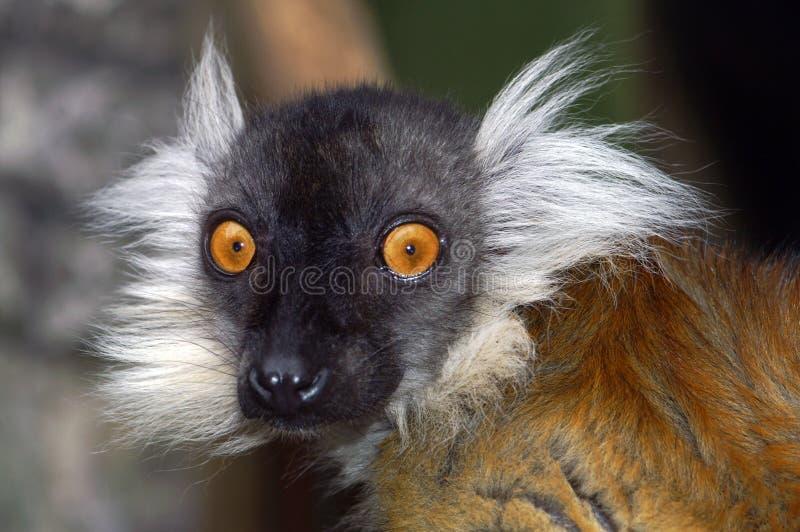 Portret van een kleine aap stock afbeelding