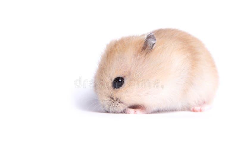 Portret van een kleine hamster op een geïsoleerde achtergrond stock fotografie