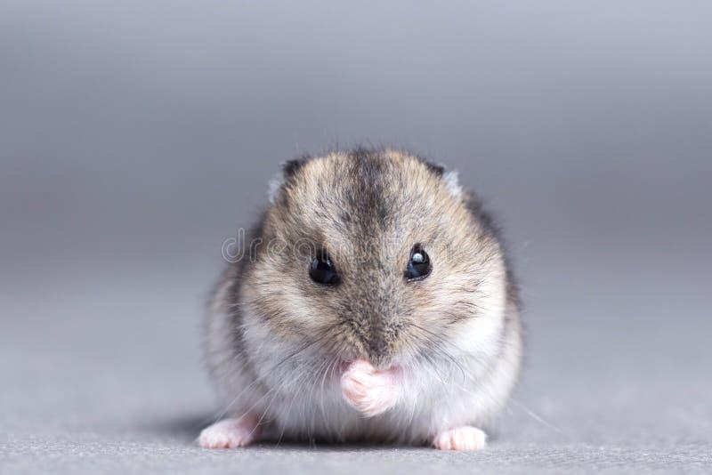 Portret van een kleine hamster op grijze achtergrond royalty-vrije stock foto's