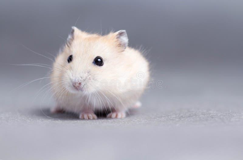 Portret van een kleine hamster op grijze achtergrond royalty-vrije stock afbeelding