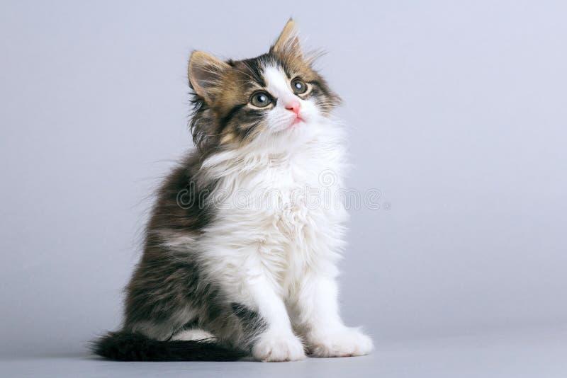 Portret van een kleine pluizige katjeszitting op een grijze achtergrond en het kijken upwards stock afbeelding