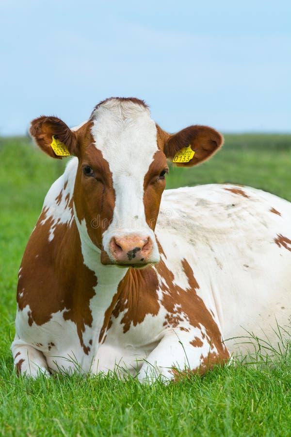 Portret van een Koe  Κινηματογράφηση σε πρώτο πλάνο μιας εσωτερικής αγελάδας στοκ εικόνες