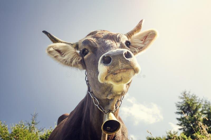 Portret van een koe met een klok royalty-vrije stock afbeeldingen