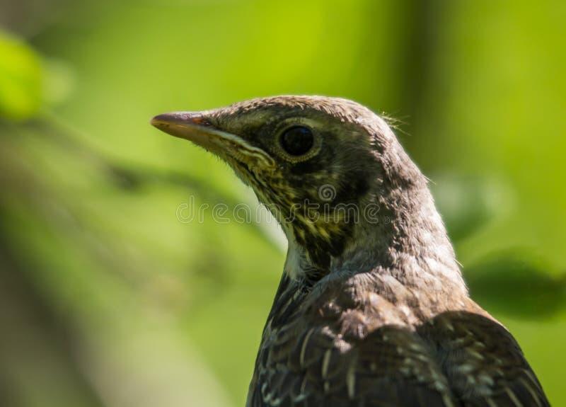 Portret van een kramsvogel royalty-vrije stock foto's