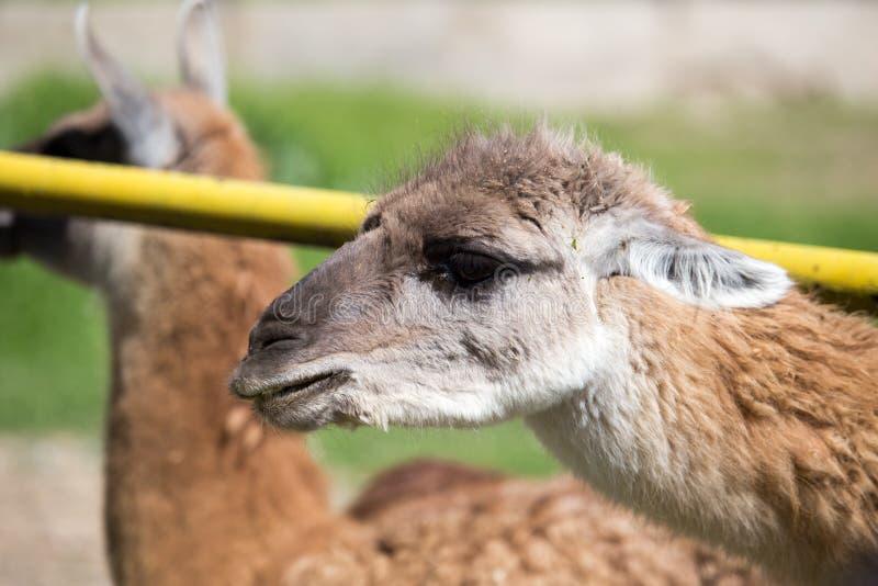 Portret van een lama in een dierentuin stock foto's