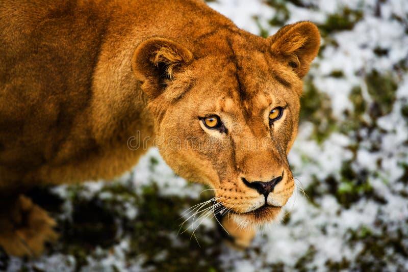 Portret van een leeuwin stock afbeeldingen
