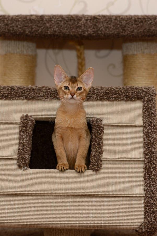 Portret van een leuk abyssinian katje stock afbeeldingen