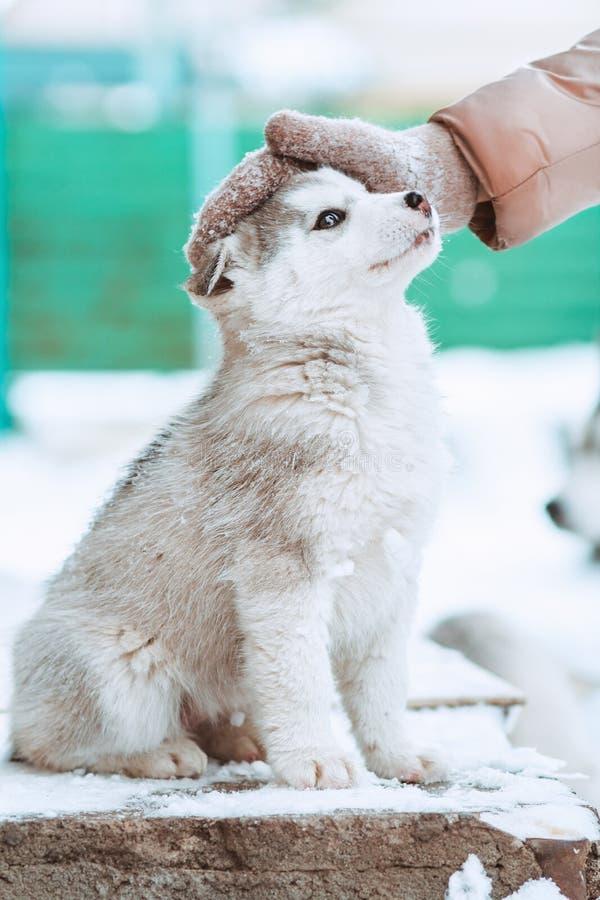 Portret van een leuk binnenlands schor puppy de waarvan vrouw het hoofd strijkt stock foto's