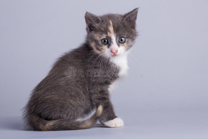 Portret van een leuk klein pluizig katje met blauwe ogen stock afbeelding