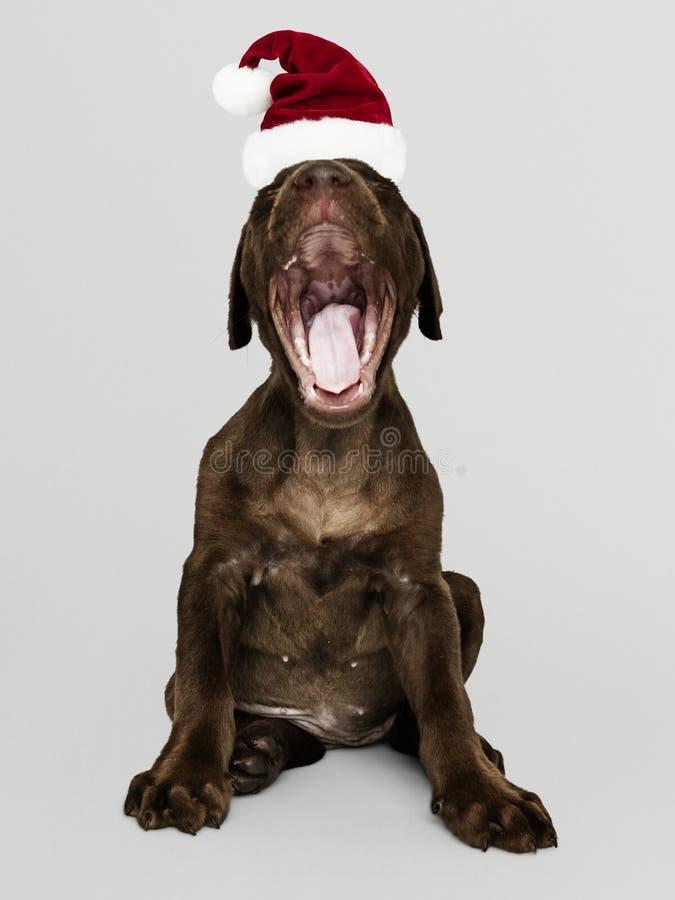 Portret van een leuk Labradorpuppy die een Kerstmanhoed dragen stock afbeeldingen