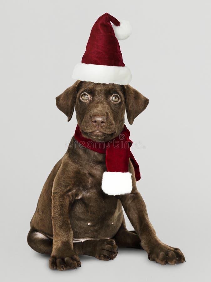 Portret van een leuk Labradorpuppy die een Kerstmanhoed dragen royalty-vrije stock foto