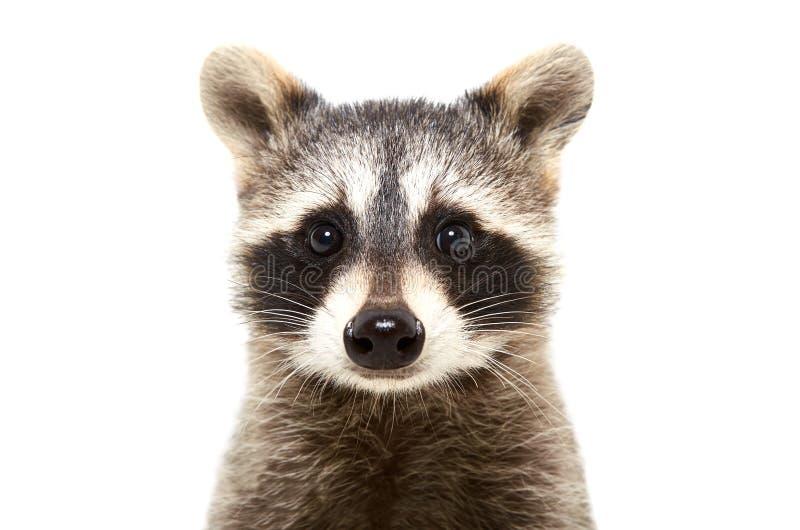 Portret van een leuke grappige wasbeer royalty-vrije stock afbeelding