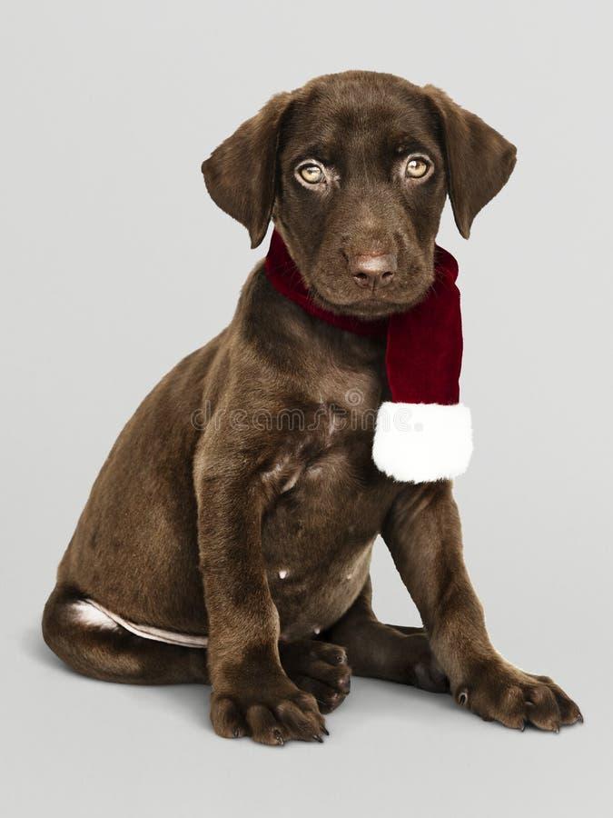 Portret van een leuke Labrador die een Kerstmissjaal dragen stock afbeeldingen