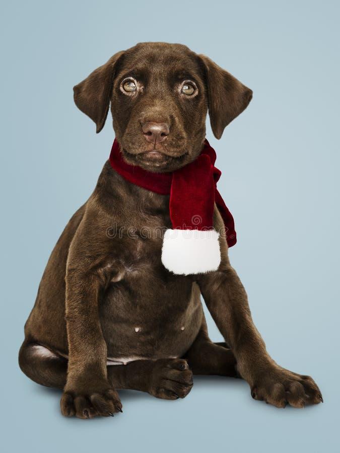 Portret van een leuke Labrador die een Kerstmissjaal dragen royalty-vrije stock afbeelding