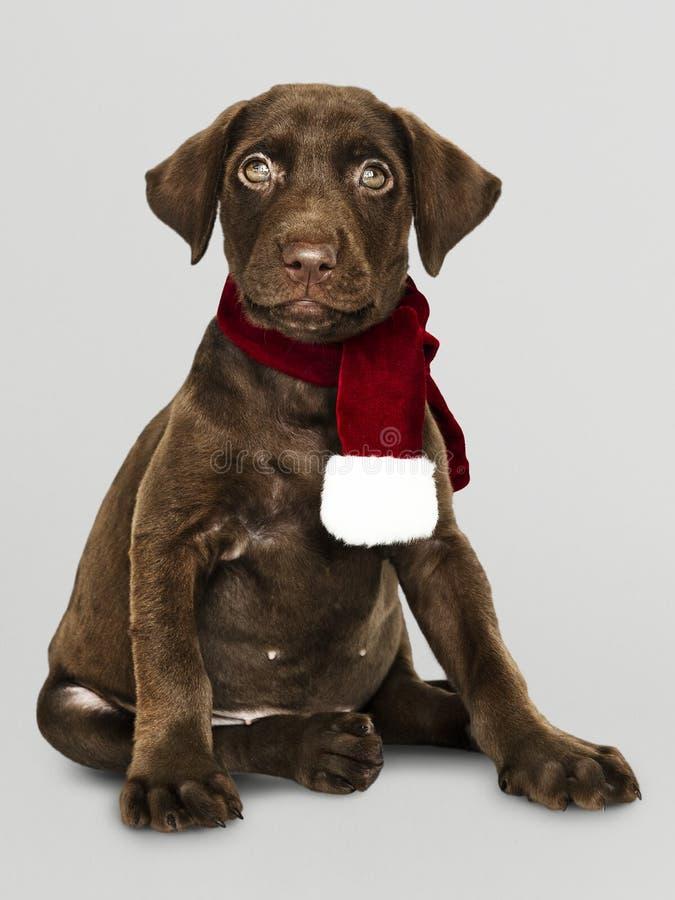Portret van een leuke Labrador die een Kerstmissjaal dragen royalty-vrije stock afbeeldingen