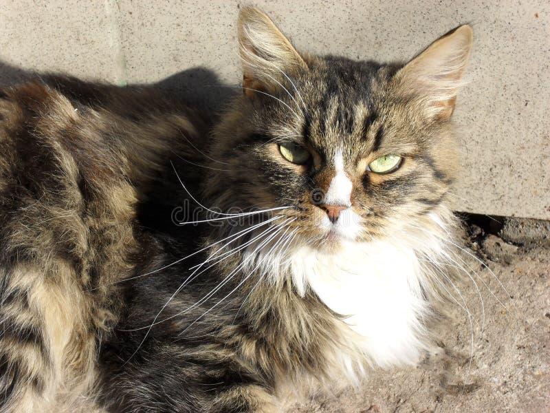 portret van een leuke pluizige aanbiddelijke kat stock afbeelding