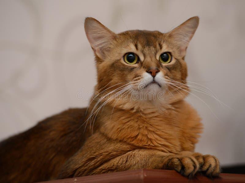 Portret van een leuke Somalische kat stock fotografie