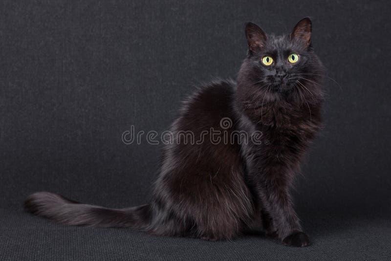 Portret van een leuke zwarte kattenzitting zijdelings en bekijkend de camera op een donkere achtergrond stock afbeelding