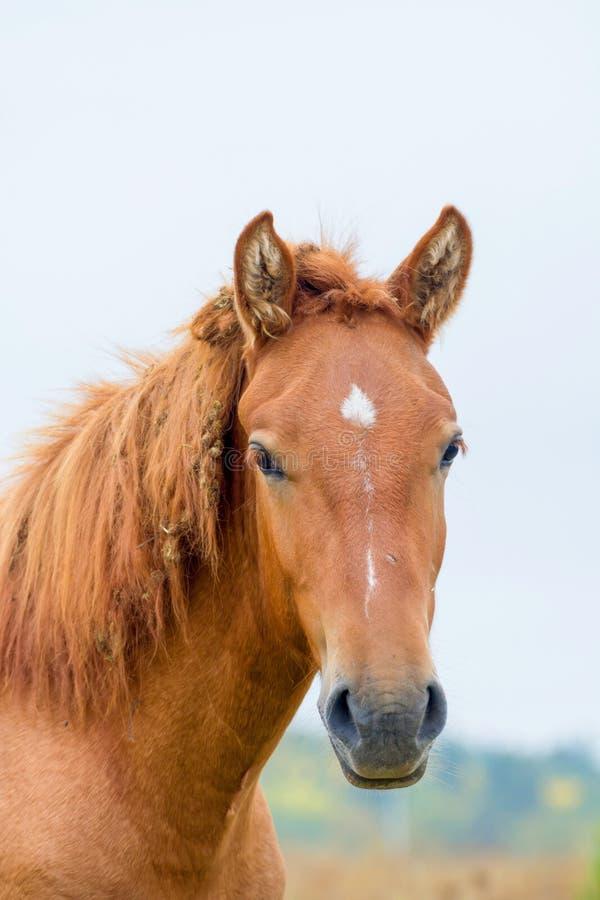 Portret van een lichtrood paard stock foto