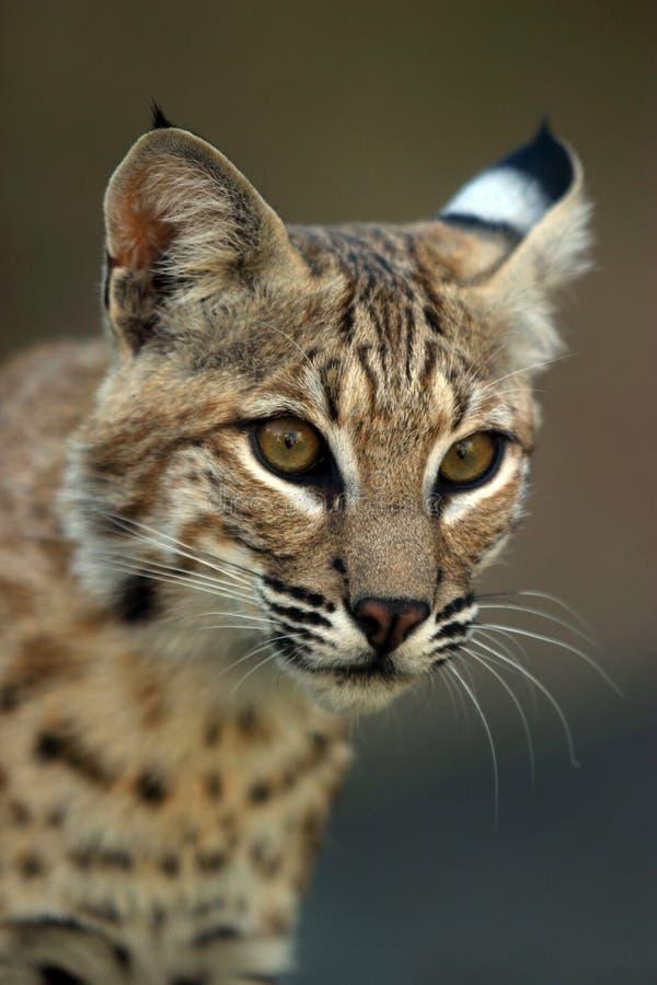 Portret van een lynx stock fotografie