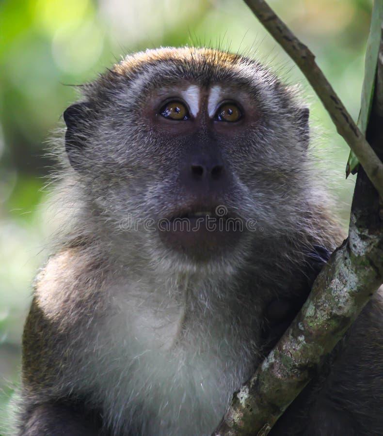 Portret van een macaque royalty-vrije stock afbeelding