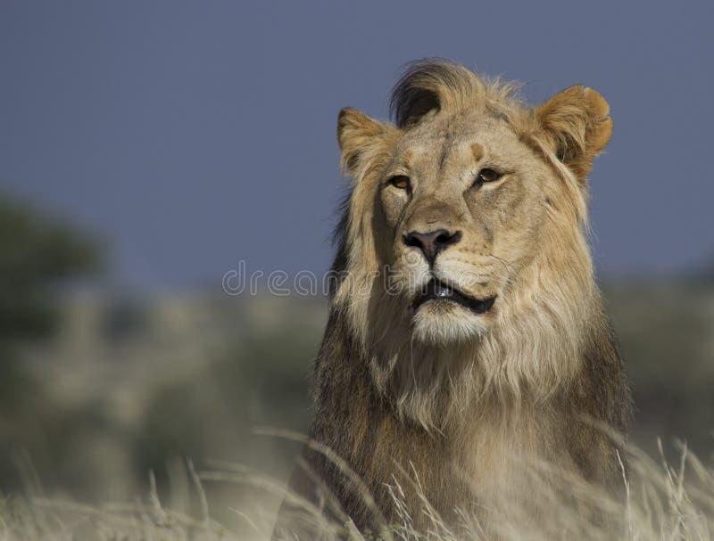 Portret van een mal leeuw royalty-vrije stock fotografie