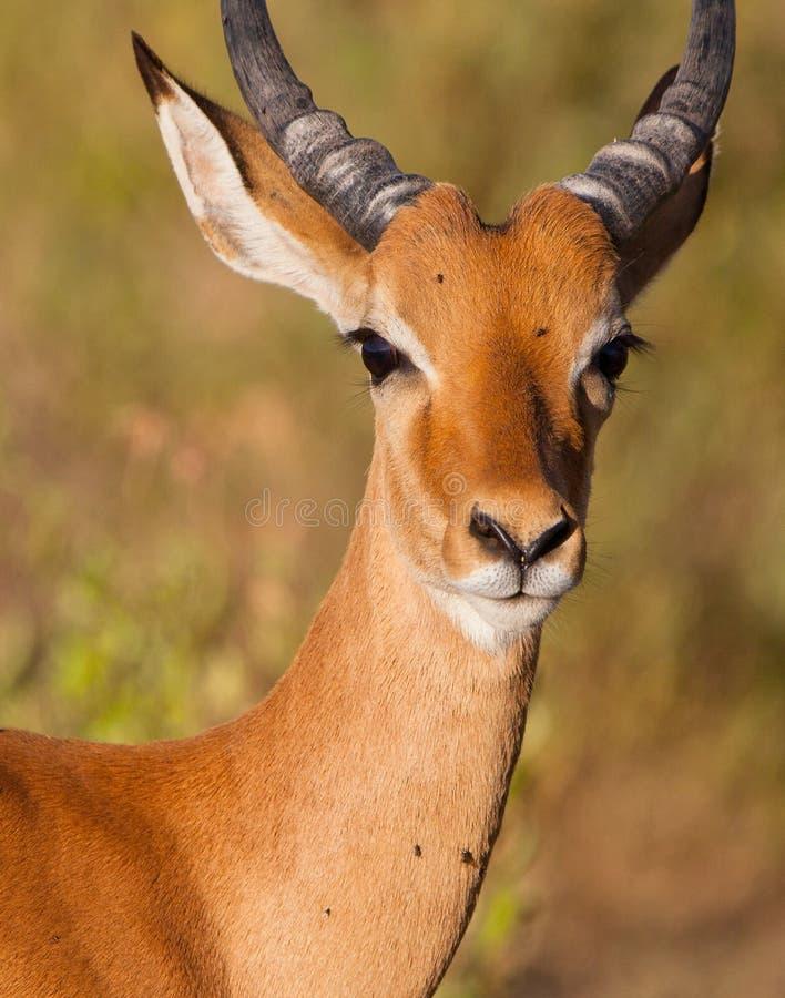 Portret van een mannelijke Antilope van de Impala royalty-vrije stock foto