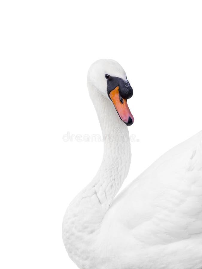 Portret van een mannelijke witte geïsoleerde zwaan - royalty-vrije stock fotografie