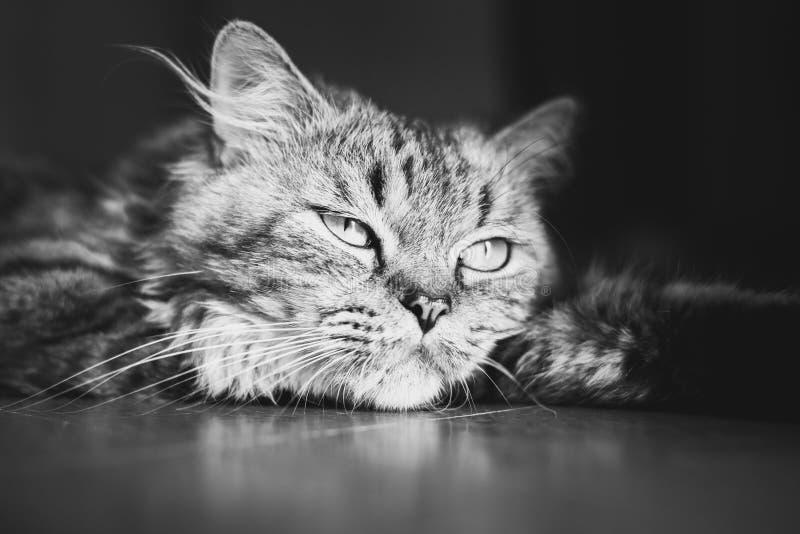 Portret van een meditatieve pluizige gestreepte katkat die op de vloer liggen Zwart-wit, sluit omhoog stock fotografie