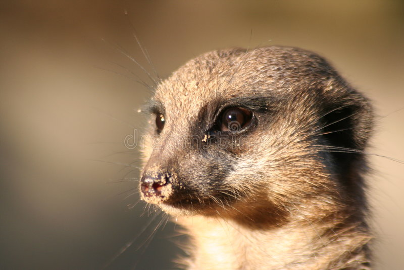 Portret van een meerkat royalty-vrije stock foto's