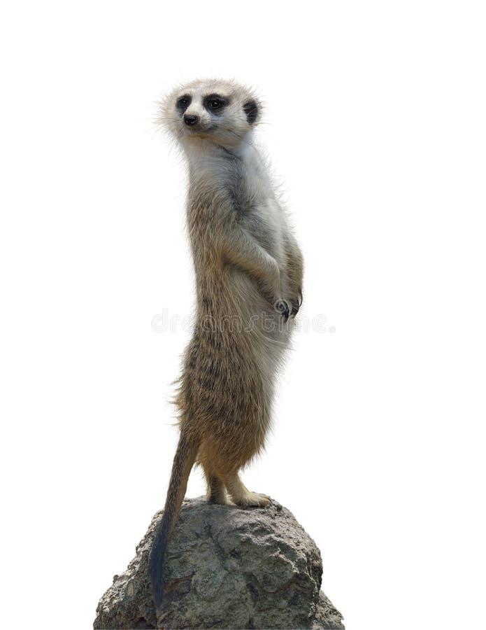 Portret van een meerkat stock afbeeldingen