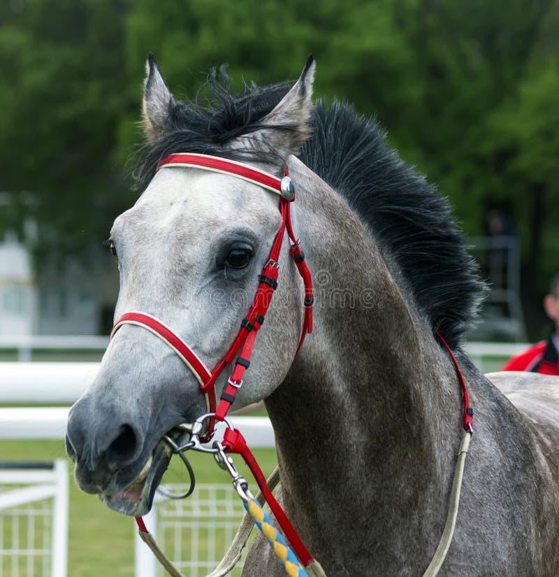 Portret van een mooi Arabisch paard royalty-vrije stock afbeelding