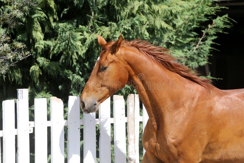 Portret van een mooi jong rasecht paard op een hete de zomerdag stock afbeelding