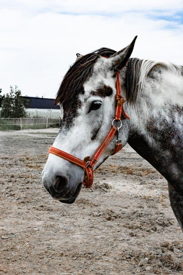 Portret van een mooi paard van Oldenburg in uitrusting op een stal stock fotografie