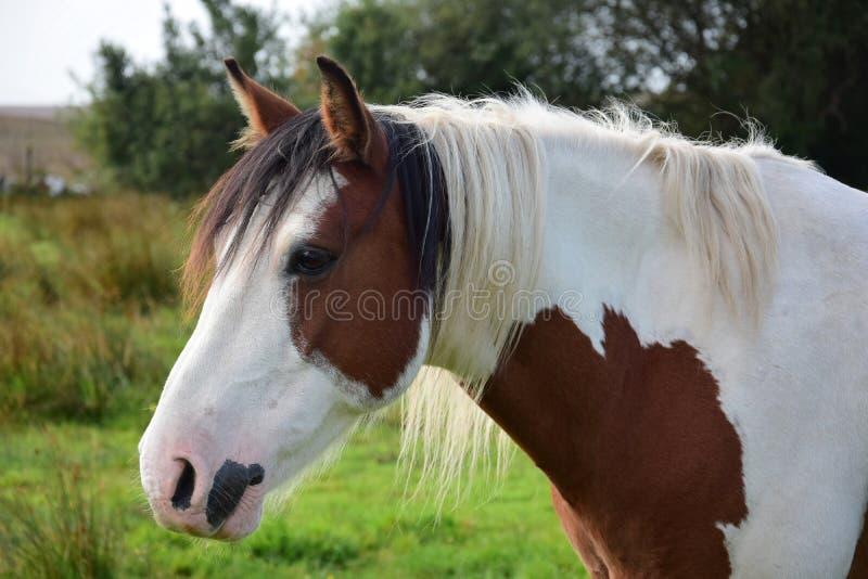 Portret van een mooi pinto paard in Ierland stock foto