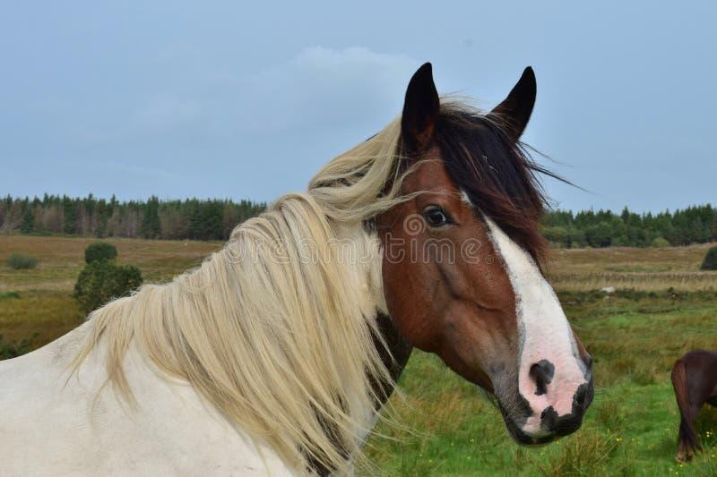 Portret van een mooi pinto paard in Ierland stock afbeeldingen