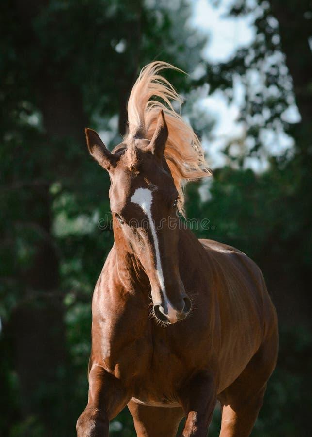 Portret van een mooi rood paard op vrijheid in motie royalty-vrije stock foto's