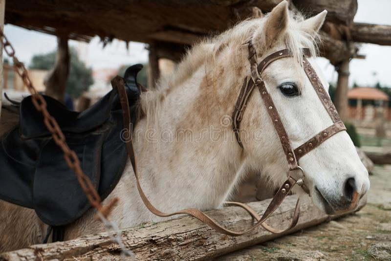 Portret van een mooi wit paard in een teugel in zijn stal, close-up royalty-vrije stock foto