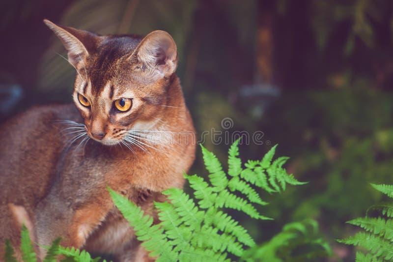 Portret van een mooie Abyssinian-kat in natuurlijke voorwaarden in het groen van een varen, zoals een roofdier, stock fotografie