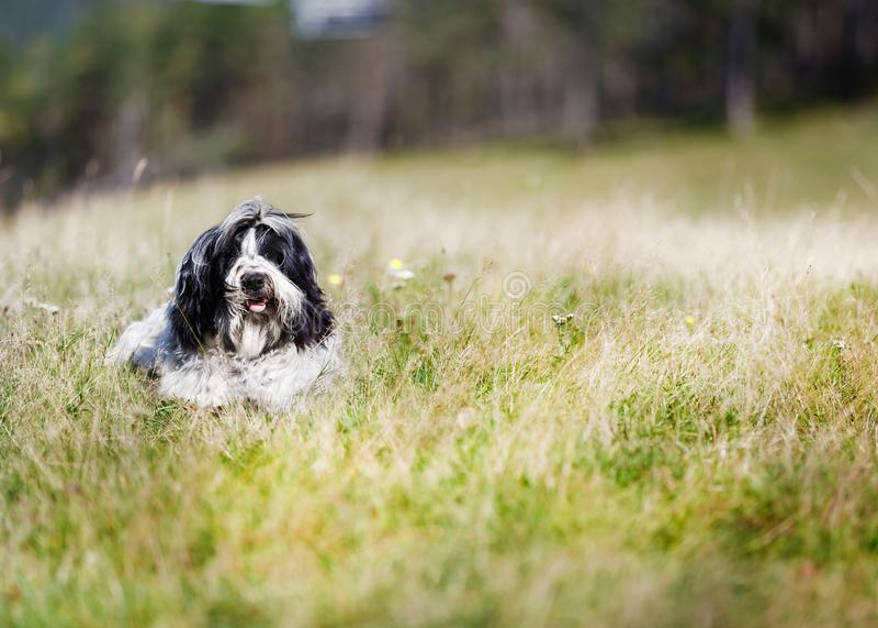 Portret van een mooie jonge Tibetaanse terriërhond die in het gras liggen stock afbeeldingen