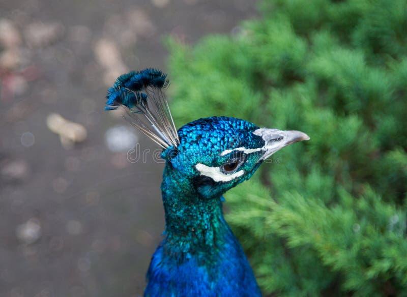 Portret van een mooie pauw met een kreet, paars Aard, ornithologie royalty-vrije stock foto's