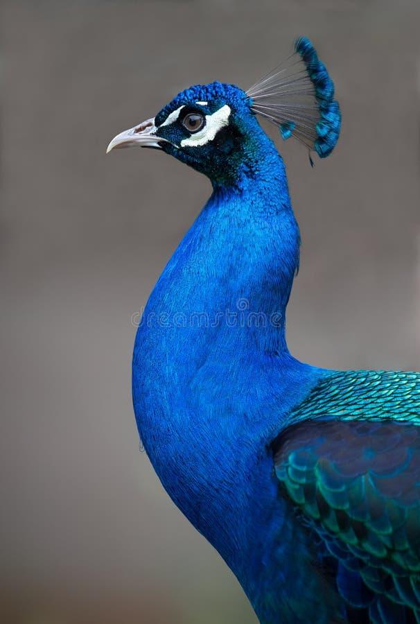 Portret van een mooie Pauwkip stock fotografie