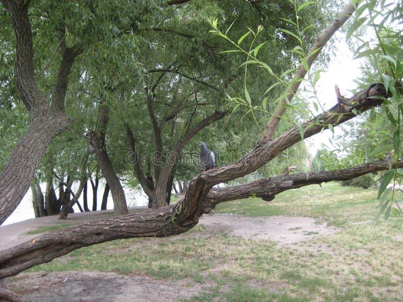 portret van een mooie zitting van de vogelduif op een boomtak royalty-vrije stock afbeelding