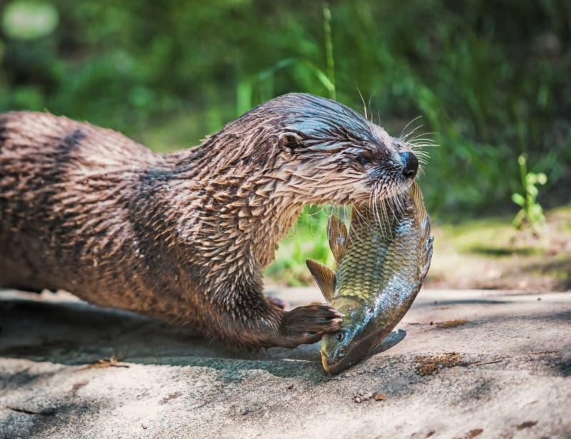 Portret van een Noordamerikaanse rivierotter stock foto