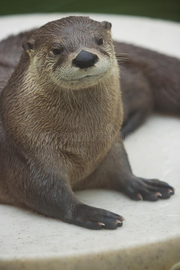 Portret van een Noordamerikaanse rivierotter royalty-vrije stock fotografie