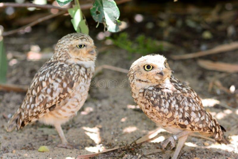 Portret van een paar kleine uilen royalty-vrije stock foto's