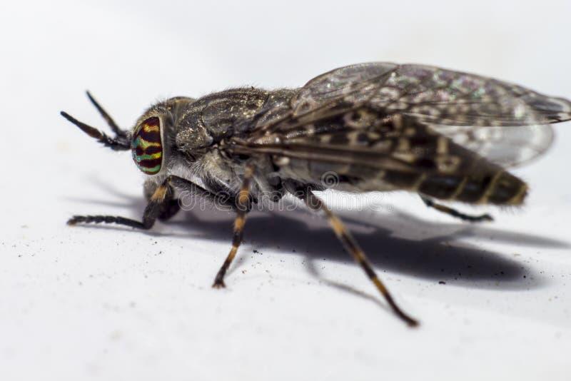 Portret van een Paardevlieg stock afbeelding